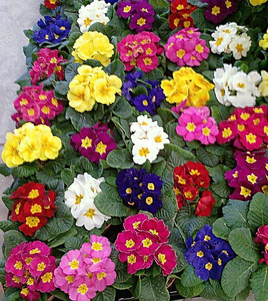 Aiuola primule il fiore e l 39 addobbo rellogiramondo for Primule immagini