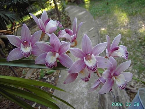 Orchidea cymbidium fioritura 2007 orchidee for Orchidea fioritura