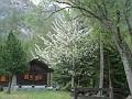 Il ciliegio di Vaud