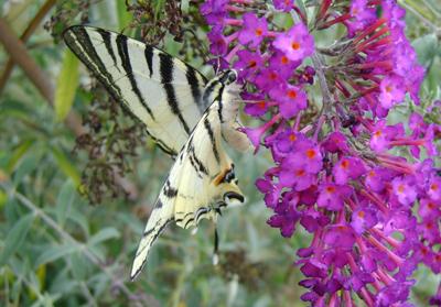 o Albero Delle Farfalle