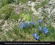Gentiana verna (genzianella di primavera o genziana primaticcia)