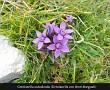 Gentianella anisodonta (Genzianella con denti diseguali)
