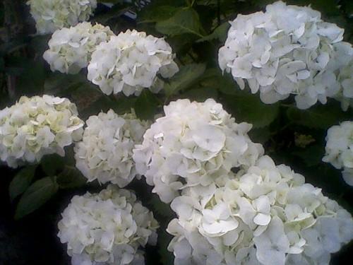 Le mie ortensie bianche i miei fiori alice for Ortensie bianche