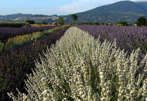 giardini idee pratiche manutenzione : Idee per giardini Giardino e aiuole con lavanda e piante aromatiche