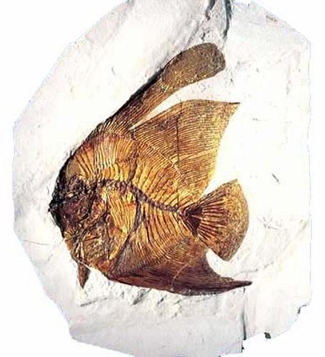 Pesce angelo estratto dalla pesciara di Bolca