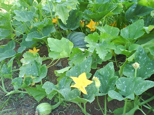 Piante Di Zucca : Fiori di zucca le piante de quot raine axia
